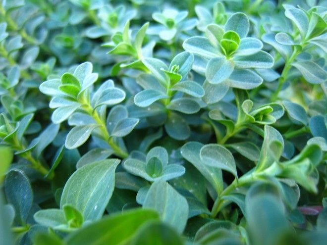Creating a Kitchen Pharmacy: When and how should I harvest medicinal herbs?