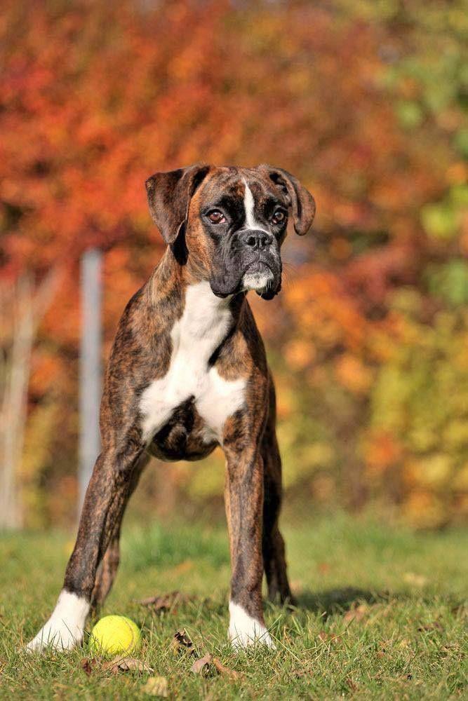 Boxer dog loving the falltime