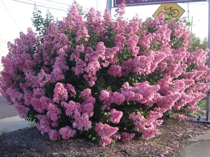 72 best Shrubs and Trees images on Pinterest Backyard ideas