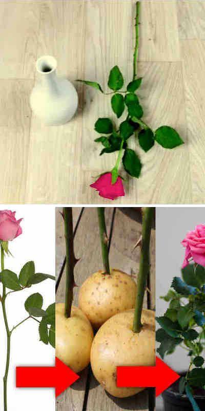 prodazha-ukorenit-rozu-iz-buketa-tsvetov