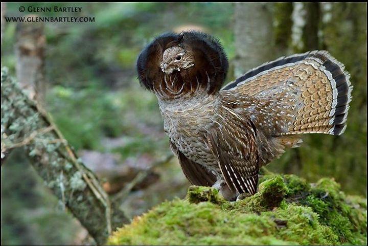 Birds image by pat helfrich birds bird hunting grouse