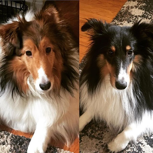 Relaxing Friday  #dogs #sheltielife #sheltielove #sheltie #shetlandsheepdog #sheltiesofinstagram #sheltie #sheltiesforlife #sheltiegram #sheltielovers #sheltiepage#犬#愛犬#愛犬家 #シェットランドシープドッグ #シェルティ #dogoftheday #dogofinstagram #doglover #dogofthedayj