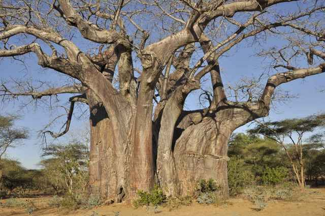 3,000 yr old Giant Baobab Tree in Zimbabwe's Save Valley Conservancy.. Shoulder to shoulder 23 people could line up around it!! This tree also has a hollow center.