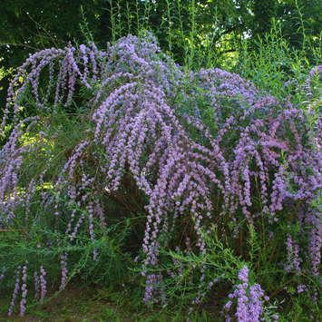 Kaskaden-Sommerflieder - Buddleja alternifolia