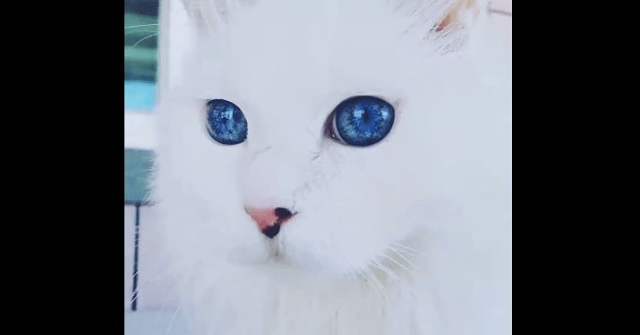 【まるで宝石】言葉にできない美しさ!青い瞳をもつネコが世界で話題にΣ(゚Д゚) ペットフィルム -犬・猫・ペットの画像・動画まとめ petfilm.biz
