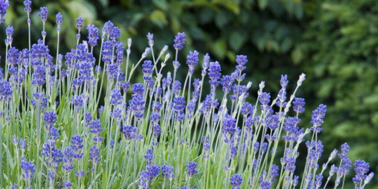 Plants That Repel Mosquitoes- Natural Pest Repellents (Lavender aka Lavandin; Lemon Balm; Basil: Catnip: Mint)