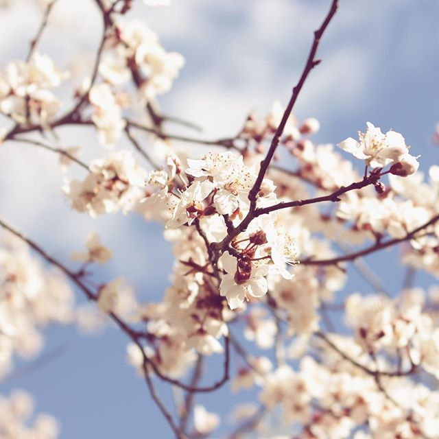 Live life in full bloom 🌸 #spring  #springishere #blossom #nature #naturelover #naturephotography #naturelovers #naturegram #followforfollow #like4like #follow4follow #likeforlike #vsco #vscocam #mik #instadaily #instagood #instaphoto #photoofday #photography #flowers #flowerpower #topnature #topnaturephoto #cherryblossom #vscohun #vscohungary #ikozosseg #livelifeinfullbloom