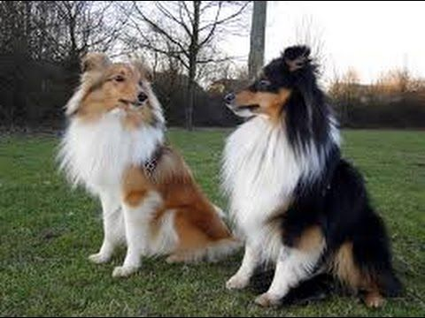 Top 10 The  Most Talented and intellengenent Dog Breeds