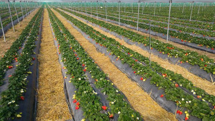 I campi di fragole dell'azienda agricola Suriano&Casalnuovo, socia del Club Candonga. #Basilicata #Italia #fragole #candongafragolatopquality