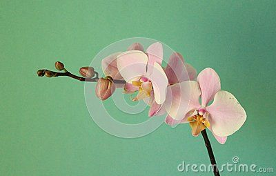 A pink orchid with green background