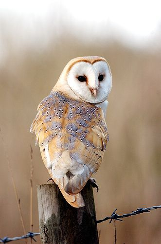 The Barn Owl is one of the most mysterious birds in the world. The bird is also the most widely disseminated and is found all over the world. The owls make a funny sound that can be heard kilometres away in the night. They have deep sited eyes with a distinct colour of white heart shaped on the face with ears hidden and not on the same level for left and right. The owl has also been christened many names including white owl, monkey faced owl, night owl, death owl, rat owl, cave owl etc.