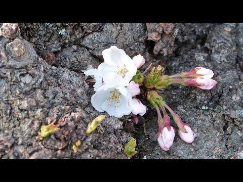 盛岡の一番桜? 2014 春