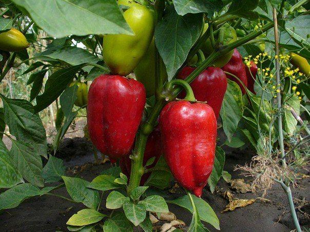 Практические советы по выращиванию перца. Видео