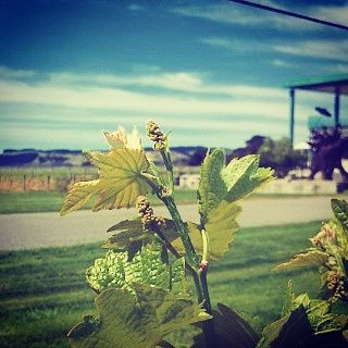 Flowering in the vineyard