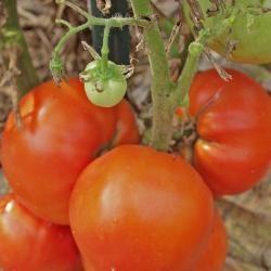 best 25 tomaten anbauen ideas on pinterest. Black Bedroom Furniture Sets. Home Design Ideas