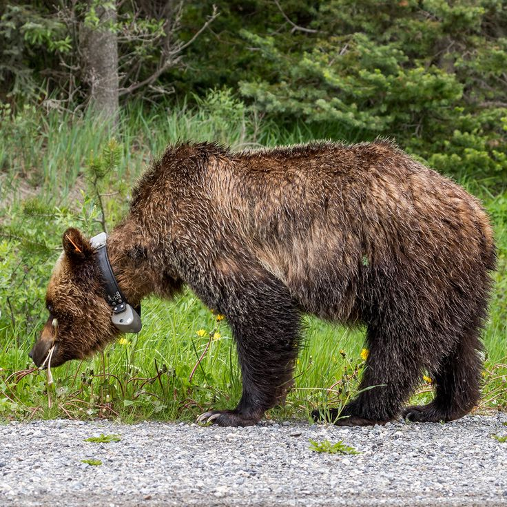 Grizzly in Kananaskis country