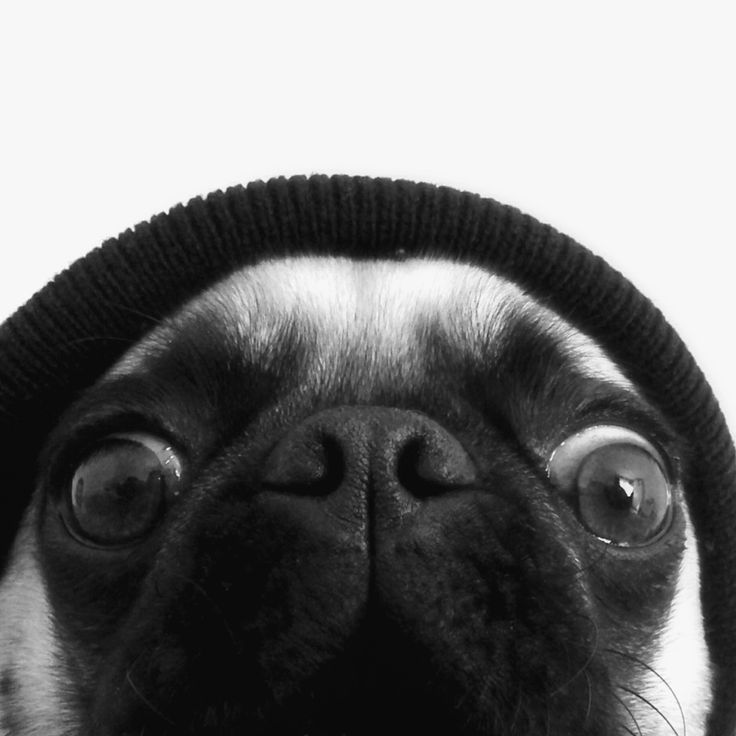 Pug self portrait