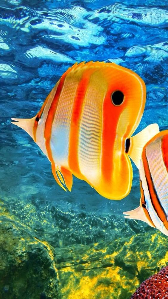 Peixe Borboleta-bicuda (Chelmon rostratus) Copperband  da Austrália