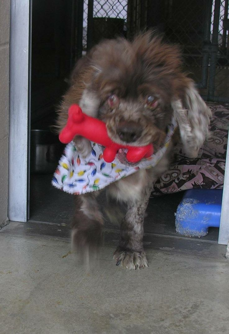 ((URGENT-SPECIAL NEEDS)) Please help! My name is Toby! I am a purebred cocker spaniel. My owner died & I am blind, so I am very lost & confused here at the shelter. I would prefer a quiet home w/ no kids or other pets because of my condition. I would like to go to a home soon. If you are interested in me please come down to the shelter very soon. Cocker Spaniel | Cape May Court House, NJ |