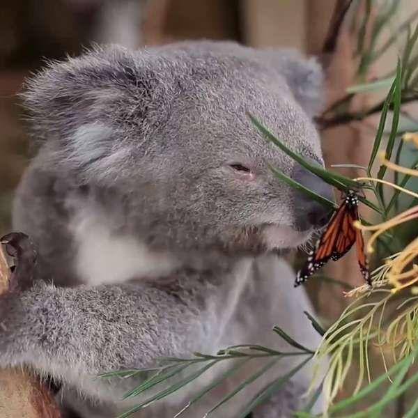 Borboleta invade gravação e faz amizade improvável com coala
