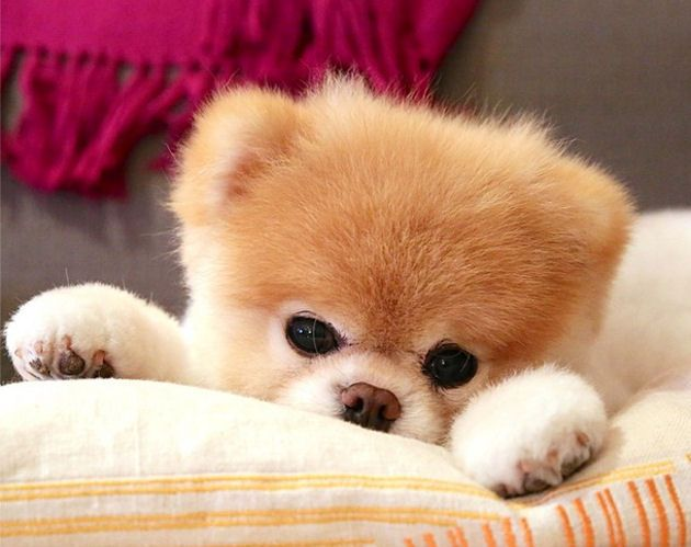 Boo est un chiot spitz nain (loulou de Poméranie) star mondiale du web. C'est une race de chien miniature très affectueux. EDIT : Boo est très mignon mais malheureusement il est tondu juste pour un effet de mode. Ces chiens ont un poil auto-nettoyant et n'ont donc absolument pas besoin d'être tondu. Un lien pour plus d'explications…