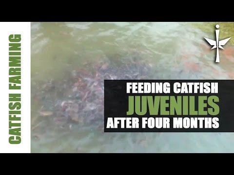 4 month young adult Catfish Feeding Frenzy!! - YouTube