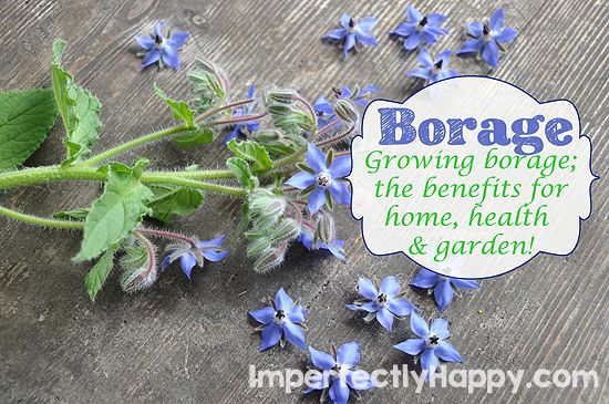 Growing borage; the benefits for home, health and garden! by ImperfectlyHappy.com