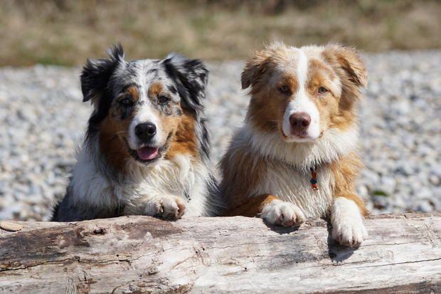 3628 best australian shepherd images on pinterest