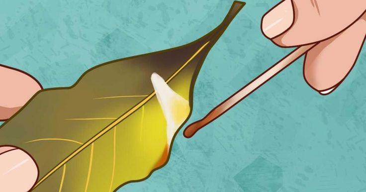 brûler une feuille de laurier comme de l'encens chasse anxiété fatigue et renforce vos poumons