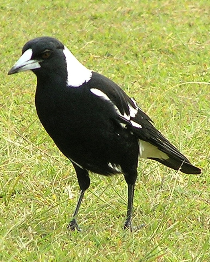 Black-Backed Magpie, native to Australia and southern Papua New Guinea. It's pretty warble can be heard everywhere but it's a territorial bird when young are born and many's the person who's been dive-bombed and pecked by a parent bird protecting its nest and chicks.