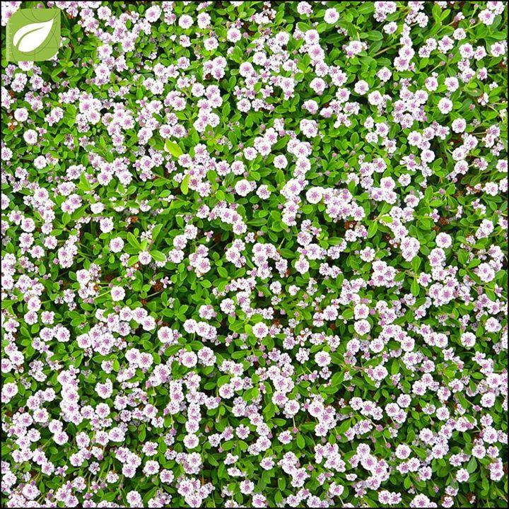 Prato a bassa manutenzione? Si può fare Emoticon wink;-)  Phyla nodiflora o Lippia: appartenente alla famiglia delle Verbenaceae è unerbacea sempreverde tappezzante perfetta per creare tappeti erbosi. Raggiunge i 4-10 cm di altezza ha foglie verdi ovali con margine frastagliato e da maggio a settembre infiorescenze bianco-rosacee profumate.  Vantaggi:  - manutenzione ridotta: necessita di due massimo tre tagli lanno!  - rapidissimo sviluppo orizzontale che la rende uneccellente tappezzante…