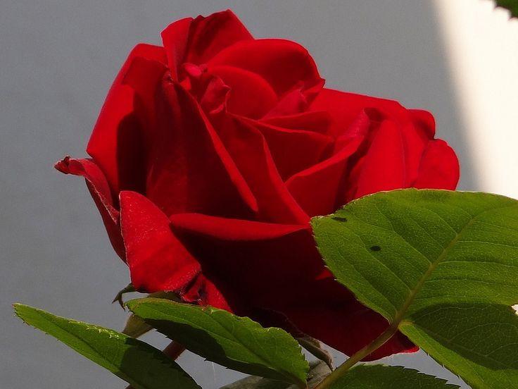 rose santana by gartenzauber flowers pinterest. Black Bedroom Furniture Sets. Home Design Ideas