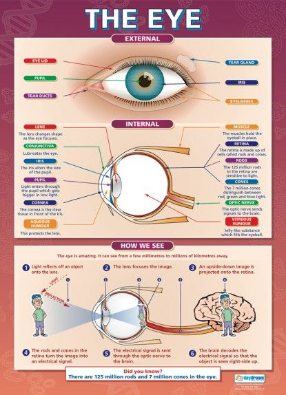 The Eye | Science Educational School Posters