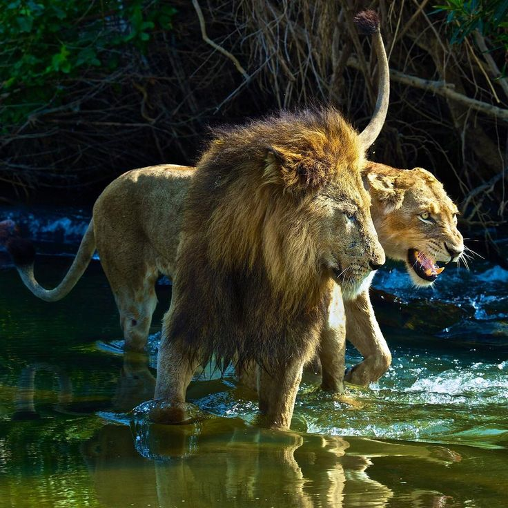 A mating pair of lions crossing a stream - Ardan News