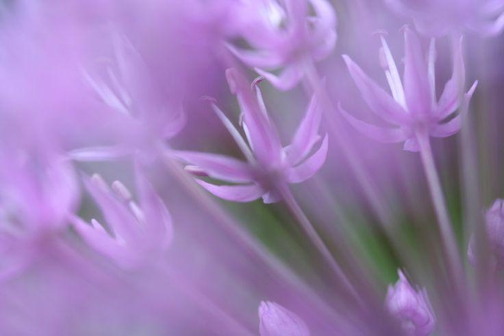 Allium by tawi.deviantart.com on @deviantART