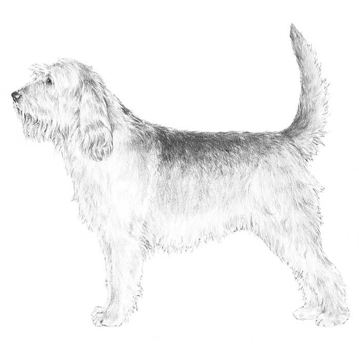 The Otterhound breed standard illustration: A large, rough-coated hound with an imposing head showing great strength and dignity, and the strong body and long striding action fit for a long day's work. It has an extremely sensitive nose, and is inquisitive and perseverant in investigating scents. The Otterhound hunts its quarry on land and water and requires a combination of characteristics unique among hounds-most notably a rough, double coat; and substantial webbed feet..(read more on…