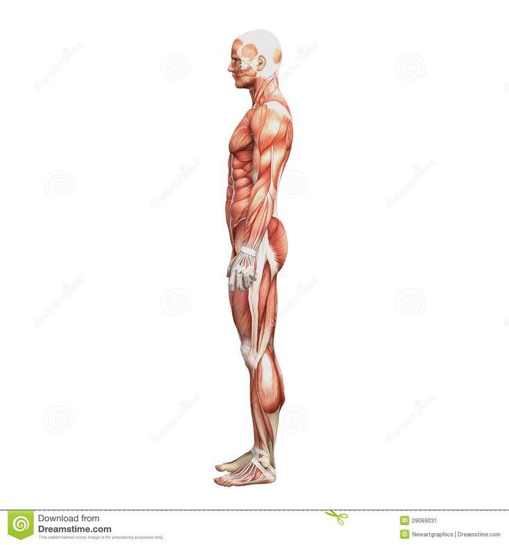 103 besten cuerpo Bilder auf Pinterest   Menschlicher körper, Muskel ...