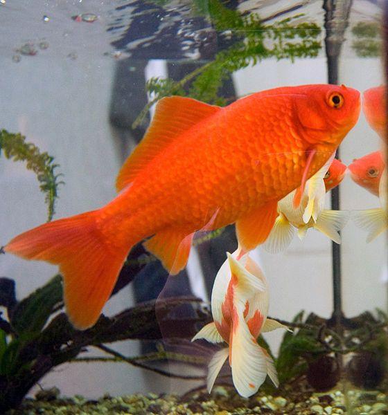 Common Goldfish                                                                                                                                                     Más