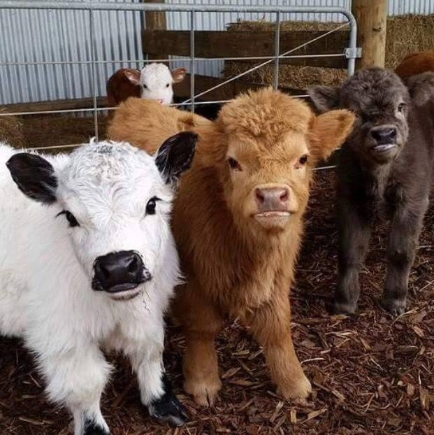 Miniature cows.. Oh my goodness. Adorable is an understatement.