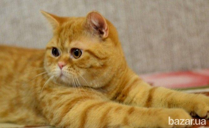Киевский питомник предлагает подрощенного шотландского котика (на фото). Родился 14 октября 2015. Отличный темперамент. Любит внимание и общество...