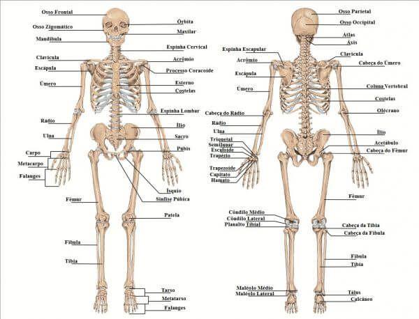 Ossos Do Corpo Humano 3 Ossos Do Corpo Humano Ossos Do