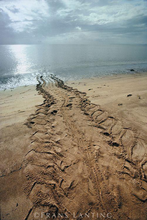 Leatherback sea turtle tracks, Dermochelys coriacea, Galibi National Reserve, Surinam