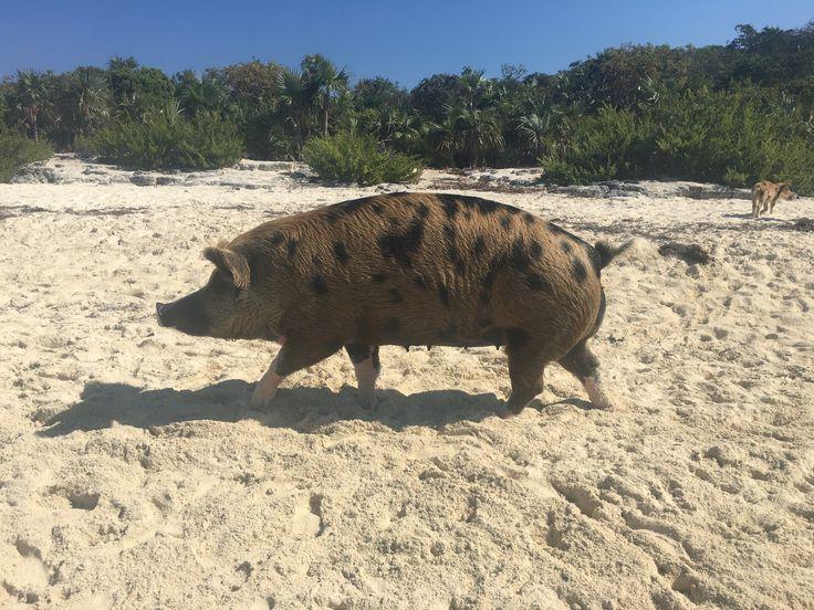 Mamma pig. #swimming pigs #exuma islands #bahamas