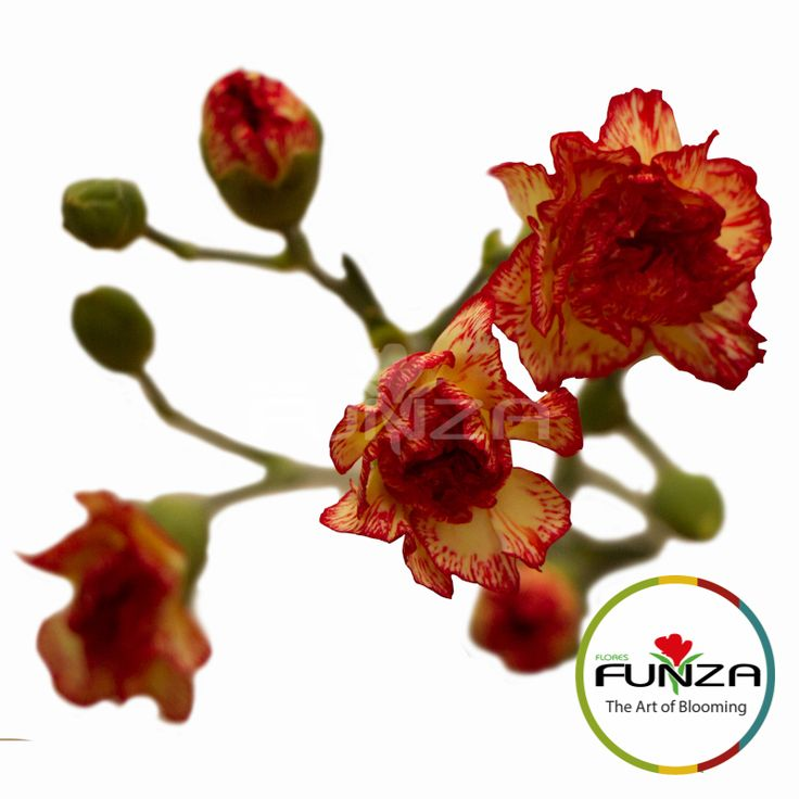 Bicolor Yellow Spray Carnation from Flores Funza. Variety: Radiant. Availability: Year-round.