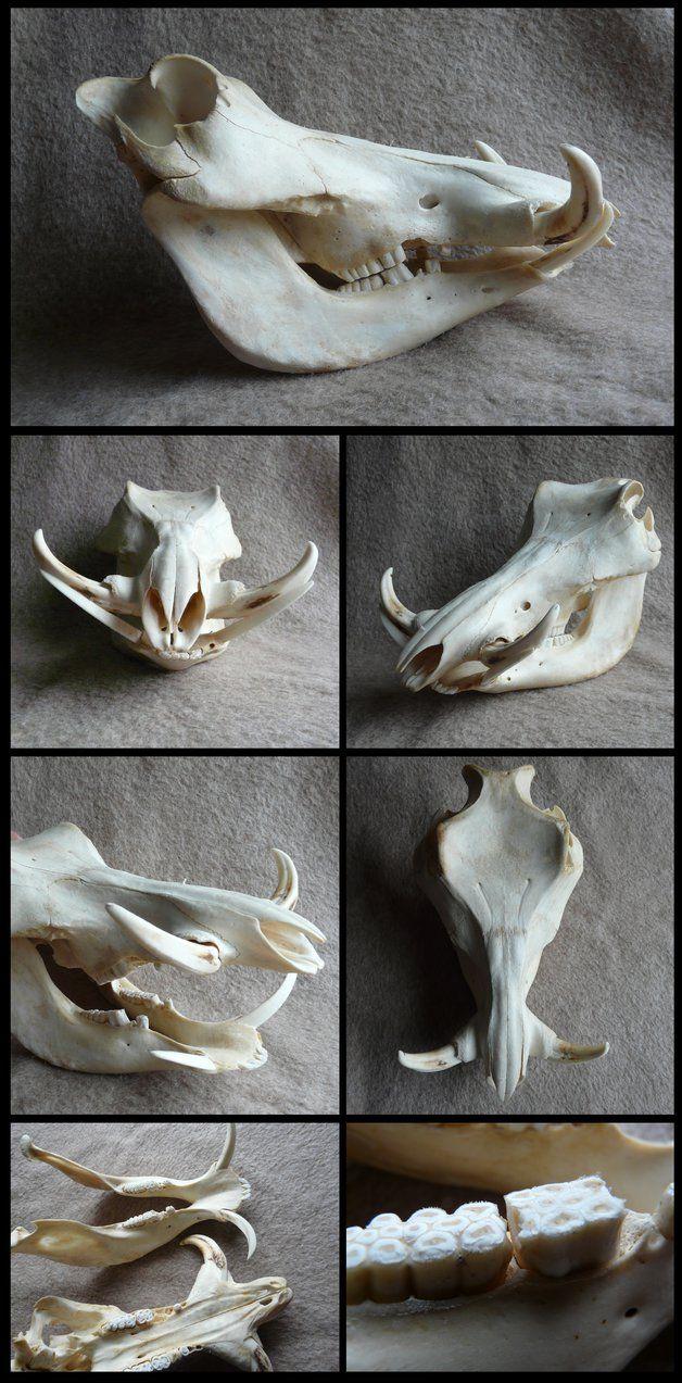 http://cabinetcuriosities.deviantart.com/art/Warthog-Skull ...