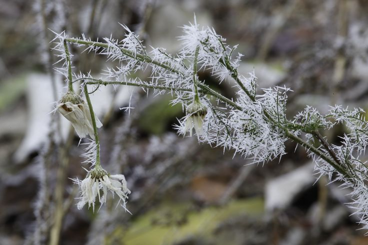 Frozen Tripleurospermum inodorum