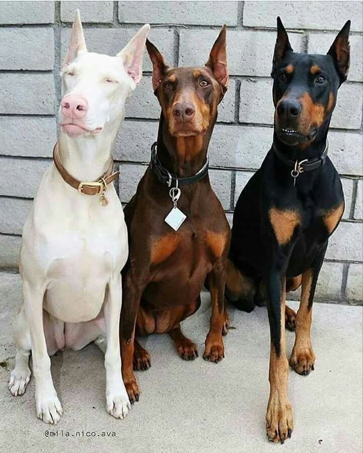 Pin By Laura Rogers On Animals Insects N Birds Doberman Puppy Doberman Pinscher Dog Pets