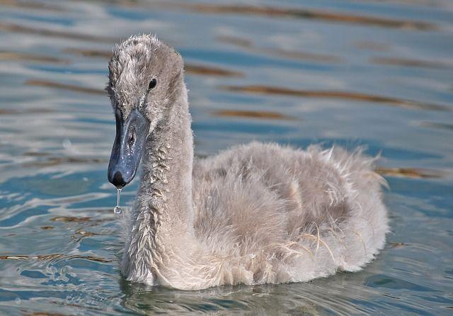 Free Photo: Swan, Animal, Water, Bird, Young - Free Image on Pixabay - 271442