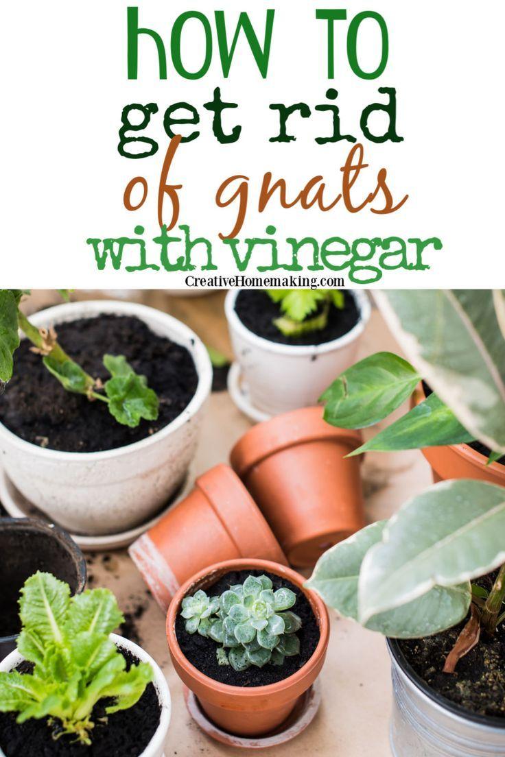 783d8bf4533b97c76b8783ef07da9466 - How To Get Rid Of Gnats On Indoor House Plants