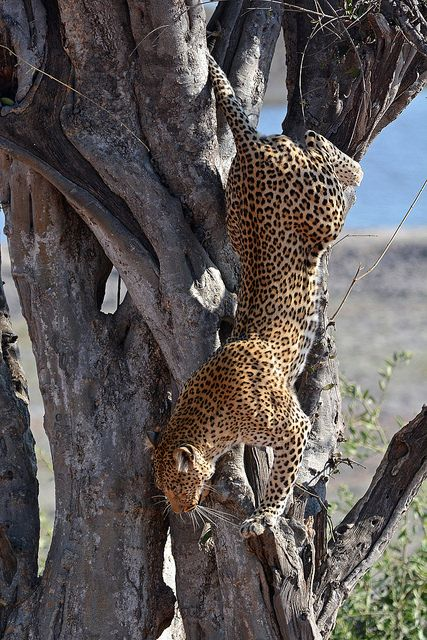 Leopard descends from a tree in Chobe National Park, Botswana by Ellen van Yperen